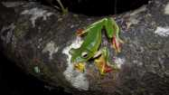 Amphibian Checklist Agumbe Rainforest Research Station Frog Leg 16:2-14