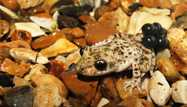 Amphibian Taxon Advisory Group Best Practice Guidelines for Midwife toads (*Alytes* sp.)