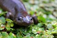 Saving salamanders; Approaches as diverse as the animals themselves. Froglog 110: 12-16