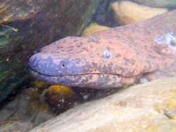 The Chinese giant salamander exemplifies the hidden extinction of cryptic species. Current Biology, 28: R590-R592.